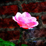 Pink Rose On Red Brick Wall Poster