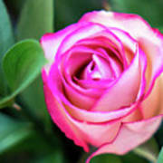 Pink Rose With Leaves Poster