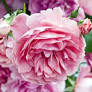 Pink Roses Poster by Frank Tschakert