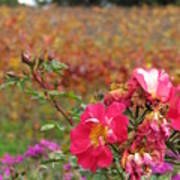 Pink Roses In Fall Poster