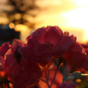 Pink Roses Sunset Poster