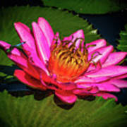 Pink Summer Water Lily Poster