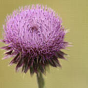 Pink Thistle Poster