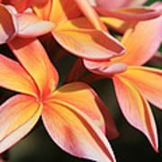 Pink Tropical Plumeria Makawao Maui Hawaii Poster