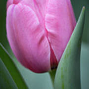 Pink Tulip Beauty Poster