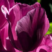 Pink Tulip Watercolor Poster