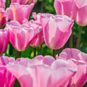 Pink Tulips Aglow Poster