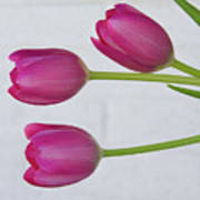 Pink Tulips And White Brick Wall Poster