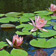 Pink Water Lilies Poster