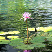 Pink Water Lily Pad Poster