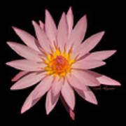 Pink Water Lily Transparent Poster