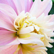 Pink White Dahlia Flower Soft Pastels Art Print Canvas Baslee Troutman Poster