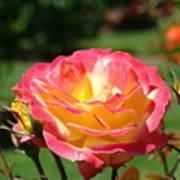 Pink Yellow Roses 3 Summer Rose Garden Giclee Art Prints Baslee Troutman Poster