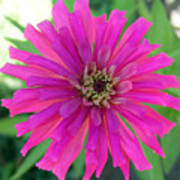 Pink Zinnia In Florida Poster