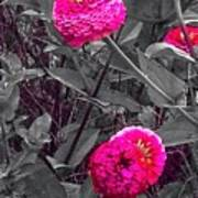 Pink Zinnias Against Grey Background Poster