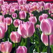 Pinky Tulips Poster