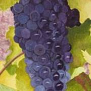 Pinot Noir Ready For Harvest Poster