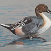 Pintail Poster by Jean Ann Curry Hess
