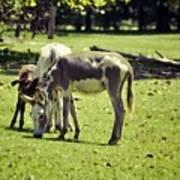 Pinto Donkey I Poster