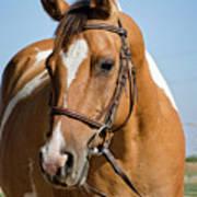 Pinto Pony Portrait Poster