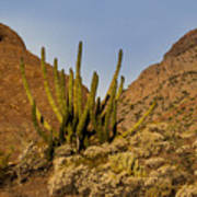Pipe Organ Cactus At Sunrise Poster