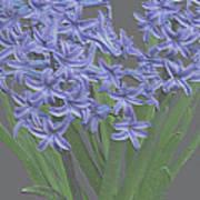 Plaster Hyacinth Poster