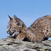 Playful Bobcat Kitten Poster