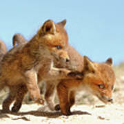Playing Fox Kits Poster