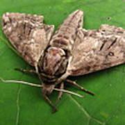 Plebeian Sphinx Moth Poster