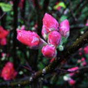 Plum Blossom 1 Poster