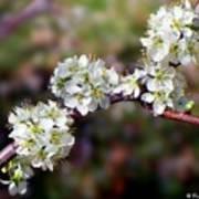 Plum Tree Blossoms Poster