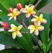 Plumeria Flowers 5 Poster