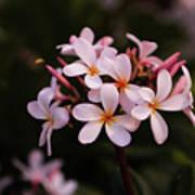Plumeria Flowers Poster