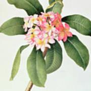 Plumeria Poster