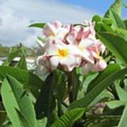 Plumeria In Pink Poster