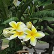 Plumeria In Yellow 2 Poster