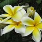 Plumeria In Yellow 3 Poster