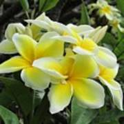 Plumeria In Yellow  5 Poster