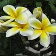 Plumeria In Yellow Poster