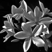 Plumeria Proper Evening Poster