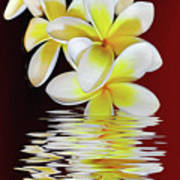 Plumeria Reflections By Kaye Menner Poster