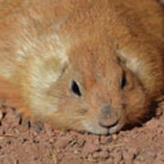 Plump Resting Prairie Dog Laying Down Poster