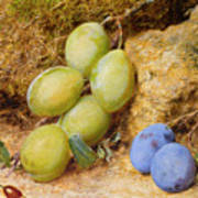Plums And A Rose Hip On A Mossy Bank Poster
