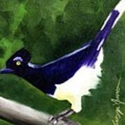 Plush Crested Jay Poster