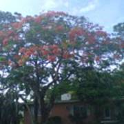 Poinciana In Summer Time Poster