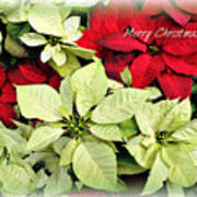 Poinsetta Mix Poster