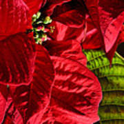 Poinsettias - Flaming Reds Poster