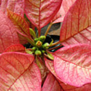 Poinsettias -  Pinks In The Center Poster
