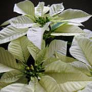 Poinsettias -  Winter White At Night Poster