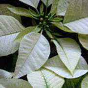 Poinsettias -  Winter Whites In Contrast Poster
